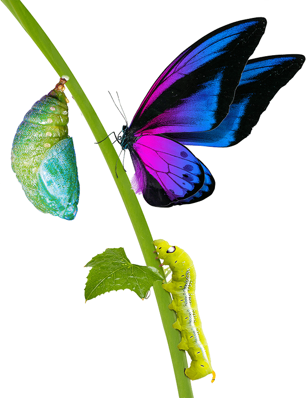 Butterly Stages of Transformation